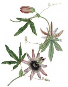 22passiflora1 copia