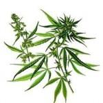 cannabisweb